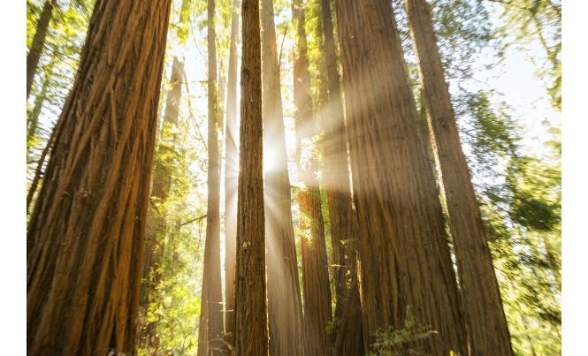 Sun Shining Through Giant Redwoods